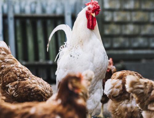 Suínos e frangos dão alento à agropecuária