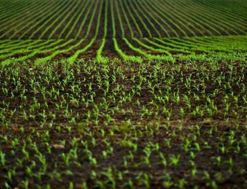 Pelotas (RS) sedia evento mundial de arroz de clima temperado