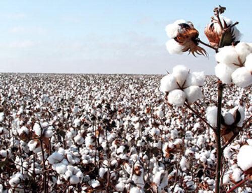 Imea prevê produção de algodão de 1,66 mi de t de pluma para 2020/21 em MT
